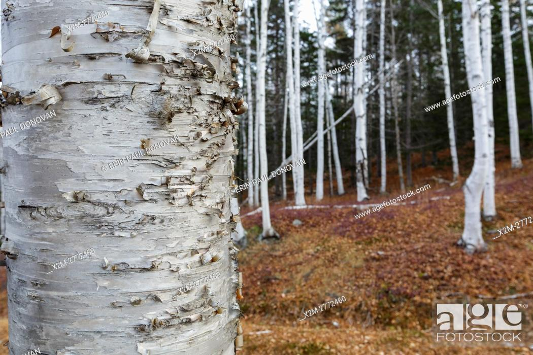 Stock Photo: Birch trees in Pinkham Notch of the New Hampshire White Mountains during the autumn months.