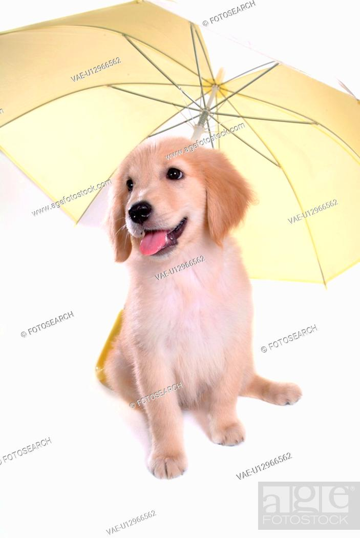 Stock Photo: looking away, golden retriever, domestic animal, umbrella, retriever, close up, Golden Retriever.