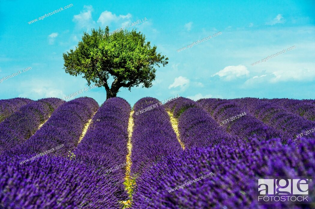 Stock Photo: Europe, France, Alpes-de-Haute-Provence, 04, Regional Natural Park of Verdon, Valensole. Field of lavender.
