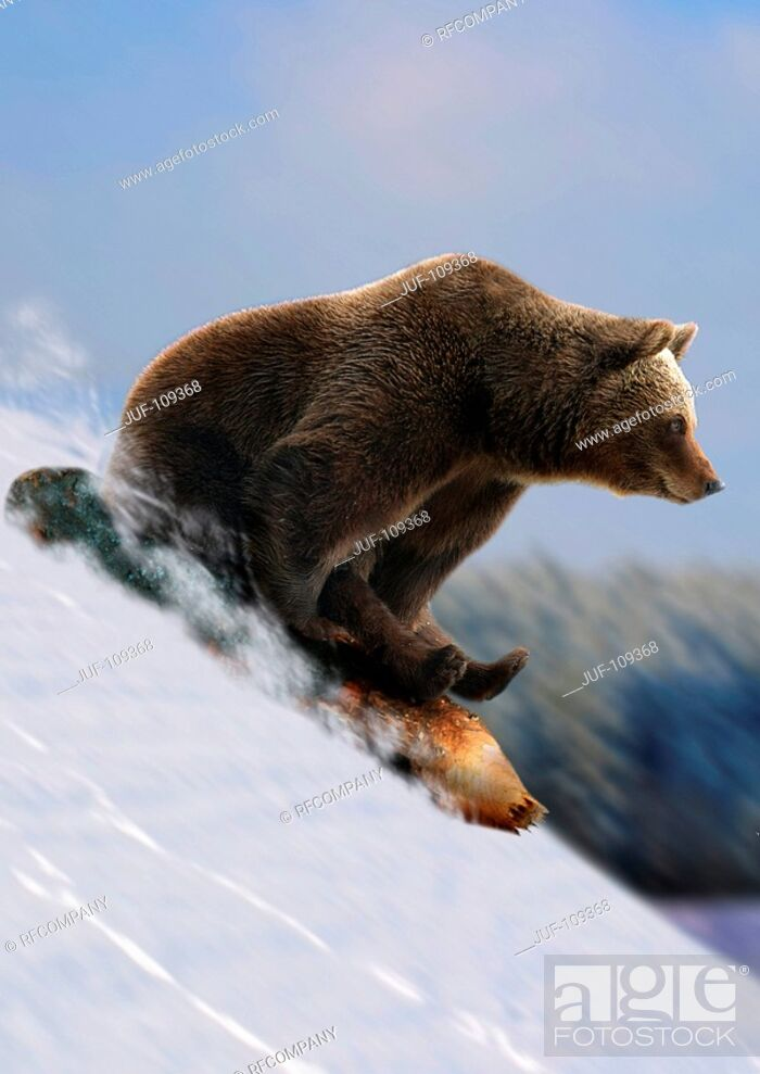 Stock Photo: brown bear is sledding / Ursus arctos.