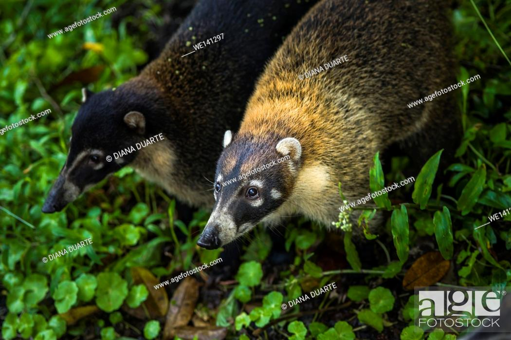 "Stock Photo: """"""""""White-nosed coati"""" (Nasua narica), The coati is primarily found in dense forests and wet jungles as the coati will spend a great deal of it's life in the."