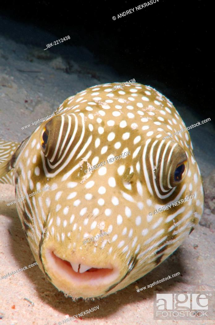 Stock Photo: White-spotted puffer (Arothron hispidus), Red Sea, Egypt, Africa.