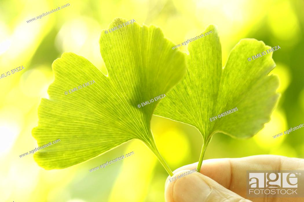 Stock Photo: Leaves of Ginkgo biloba.