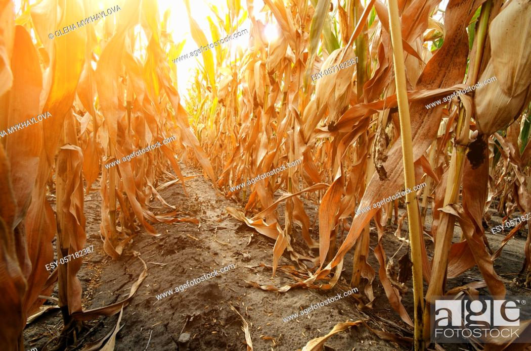 Stock Photo: Maize corn field summer time under daylight closeup view at dry stalks. Agriculture industrial background.