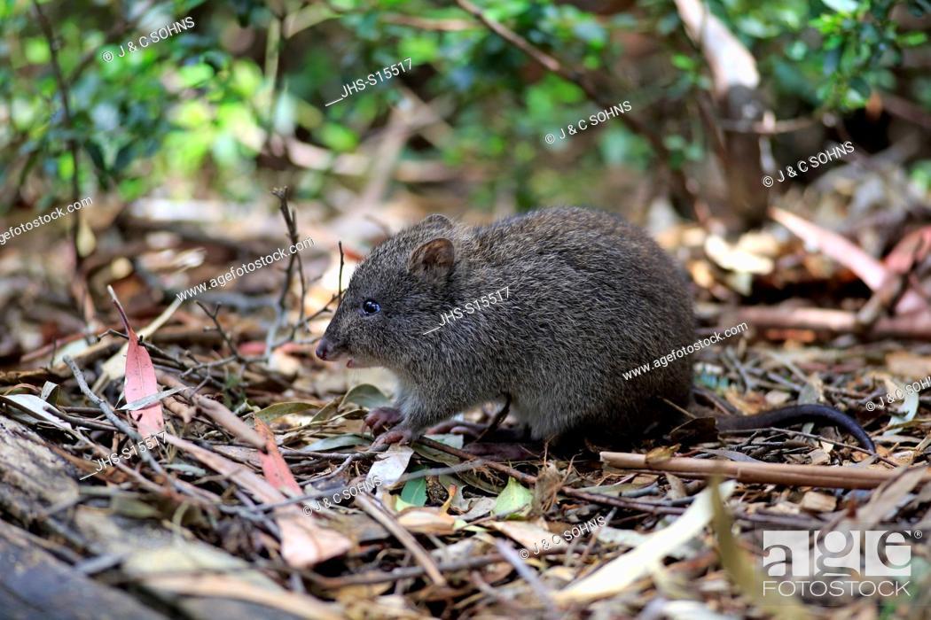 Stock Photo: Long nosed Potoroo, (Potorous tridactylus), adult searching for food, South Australia, Australia.