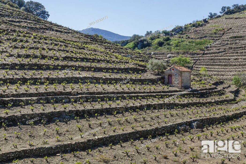 Stock Photo: France, Pyrenees Orientales, Cote Vermeille, Collioure, Collioure Vineyard in terrace and shed vineyard.