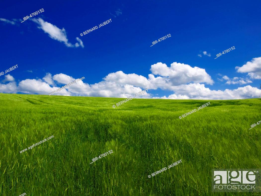Stock Photo: Field of wheat with white clouds and blue sky, Auvergne, Puy de Dome department, Auvergne-Rhône-Alpes, France.