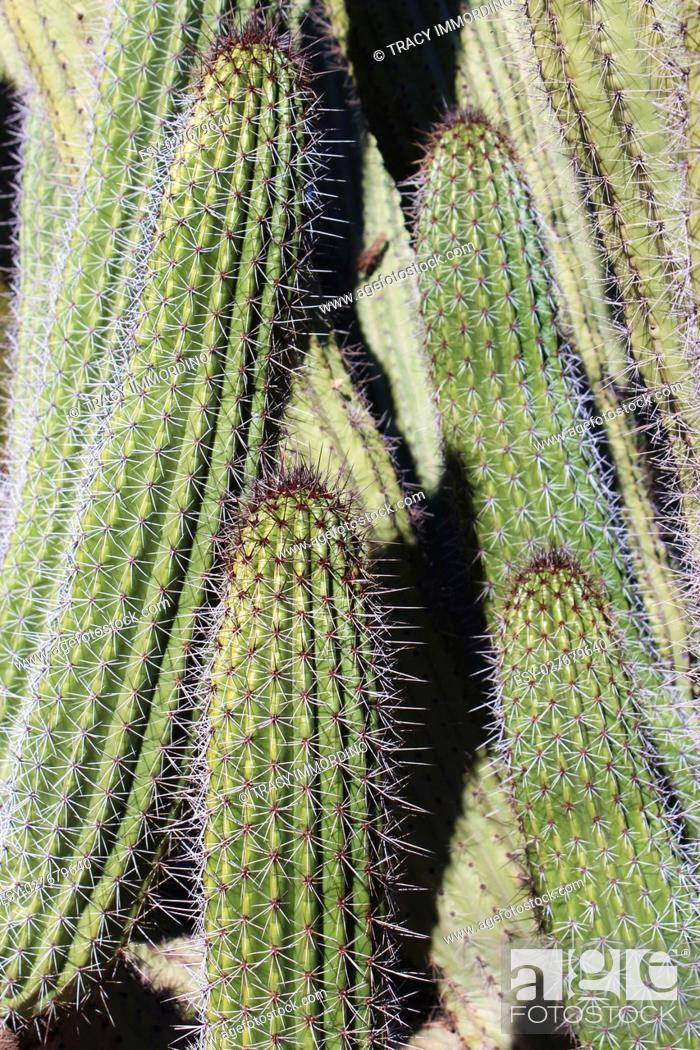 Stock Photo: Close up of a columnar cactus with white and brown spines, in the desert in Arizona, USA.