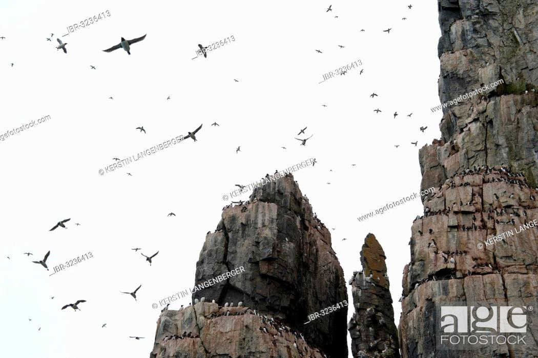 Stock Photo: Thick-billed Murres or Brünnich's Guillemots (Uria lomvia) on the bird cliffs of Alkefjellet.