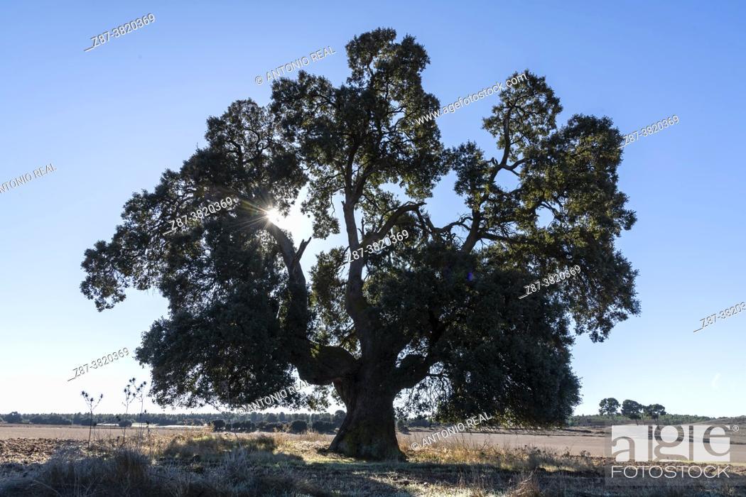 Photo de stock: Centennial Holm oak (Quercus ilex). Los Pozuelos. Almansa. albacete.