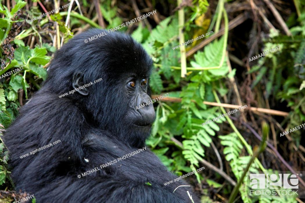 Stock Photo: Mountain Gorilla (Gorilla beringei beringei), young portrait, Volcanoes National Park, Rwanda.