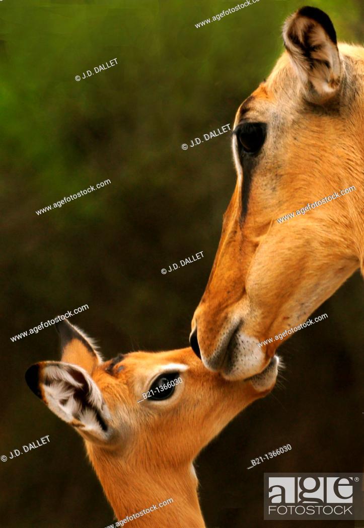 Stock Photo: Impala (Aepyceros melampus) at the Moremi Game Reserve, in the Okavango Delta, Botswana.