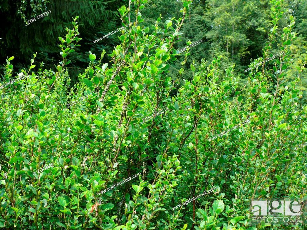 Stock Photo: Betula humilis, Niedrige Birke, shrub birch.