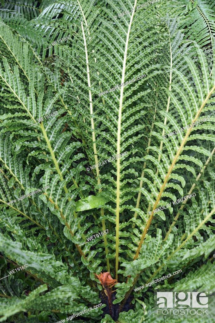 Stock Photo: Red brazilian tree fern (Neoblechum brasiliense). Called Red dwarf tree fern also.