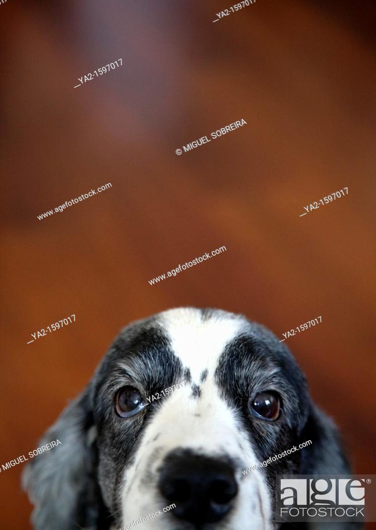 Imagen: Cocker Spaniel Portrait.