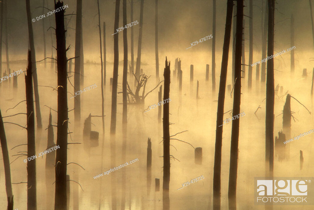 Stock Photo: Misty dead snags in pond created by beaver flooding. Killarney. Ontario. Canada.