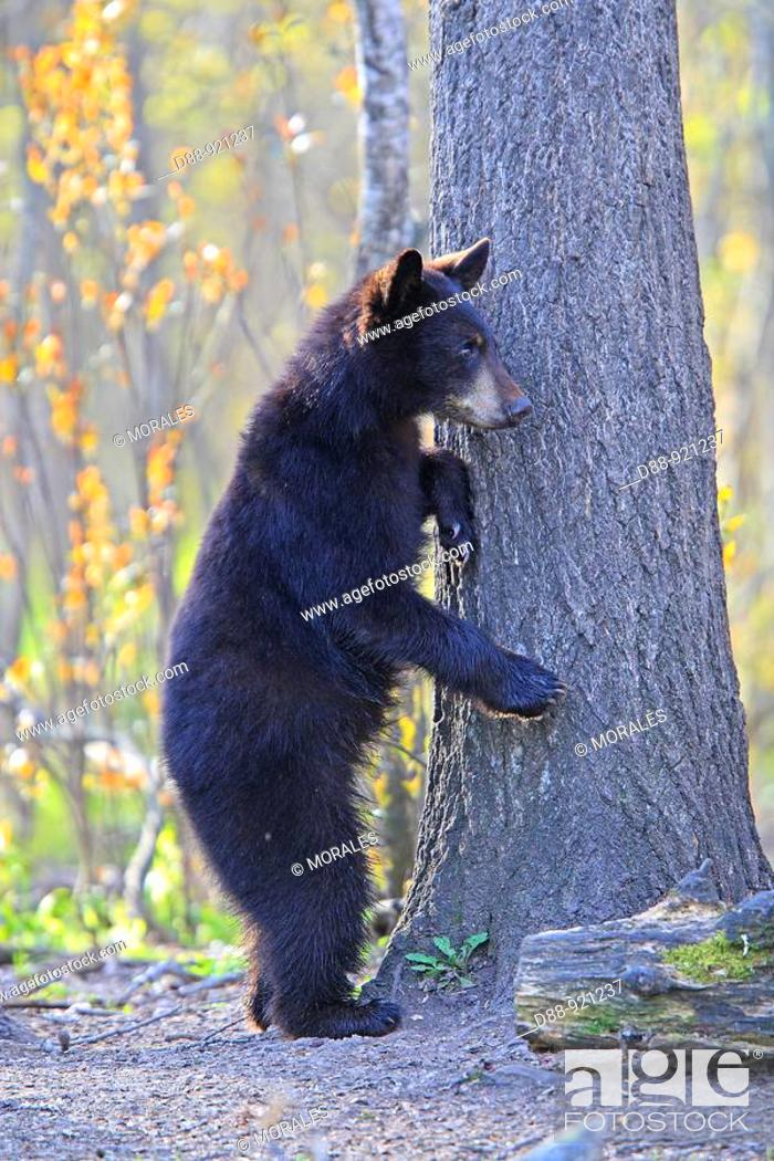 Stock Photo: Black Bear (Ursus americanus), 1 year and a half old cub climbing a tree to be safe. Minnesota, USA.