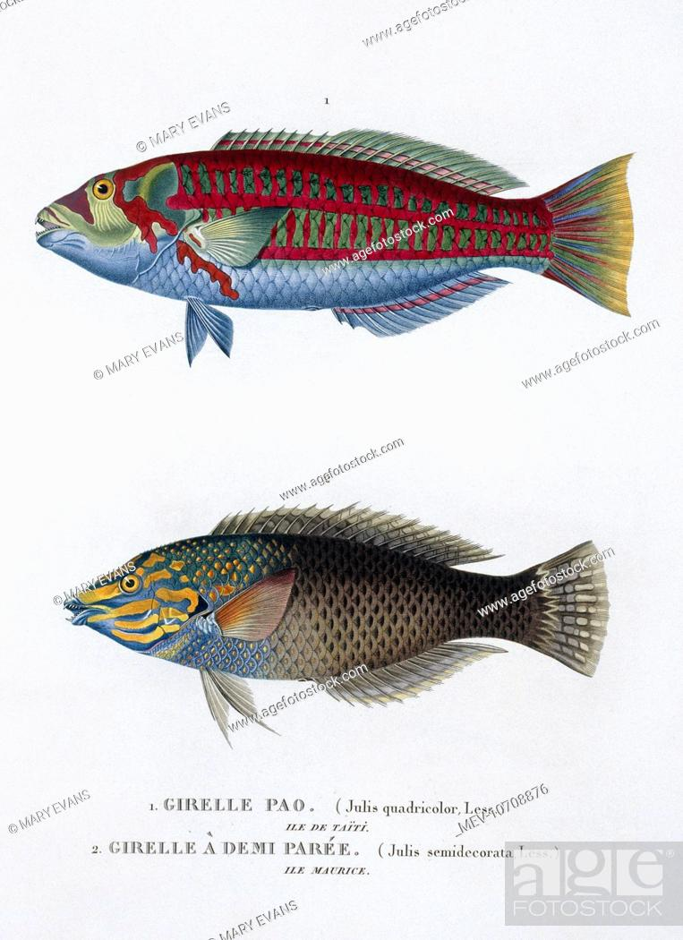 Plate 35 By Louis Isidore Duperrey From His Voyage De La Coquille 1822 1825 Zoologie Atlas 1826 Stock Photo Picture And Rights Managed Image Pic Mev 10708876 Agefotostock