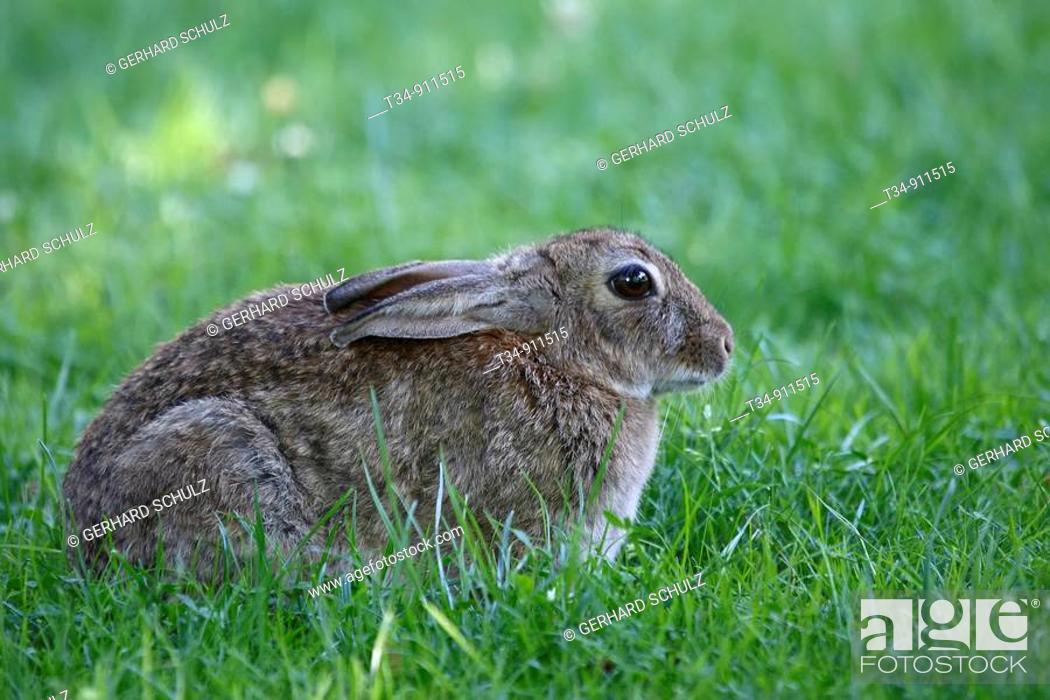 Stock Photo: European Rabbit, Oryctolagus cuniculus, Schleswig-Holstein, Germany.