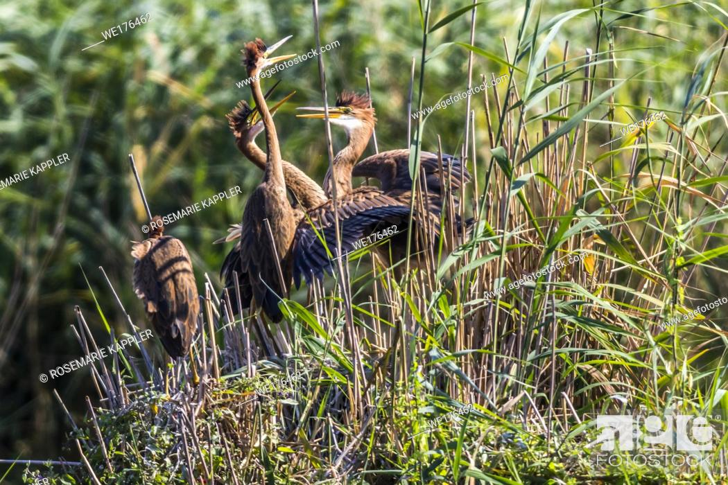 Stock Photo: Germany, Baden-Württemberg, Waghäusel - Young purple herons in their hideout in the reed neer Waghaeusel in germany.