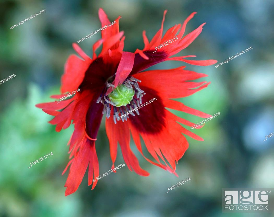 Stock Photo: Poppy, Opium Poppy, Papaver somniferum 'Pepperbox', A single red fringed flower.