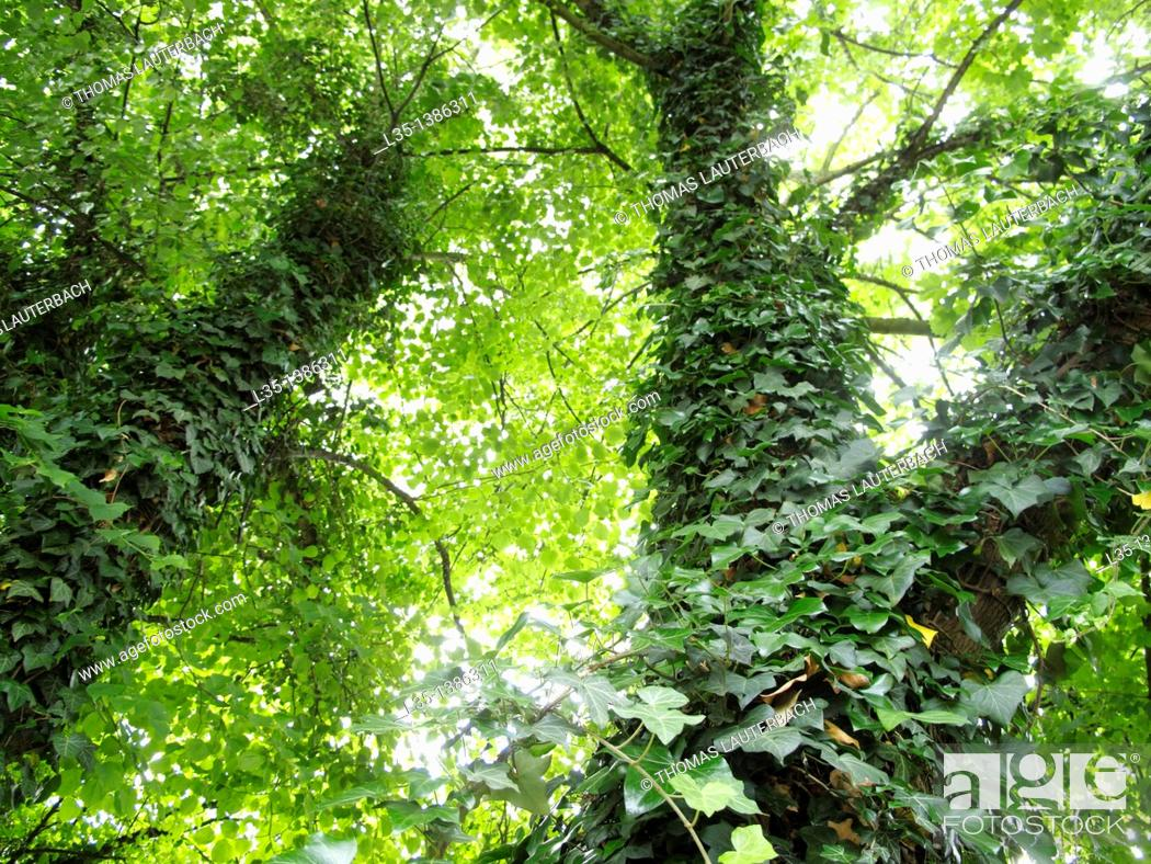 Stock Photo: Two trees are covered with a lot of ivy.