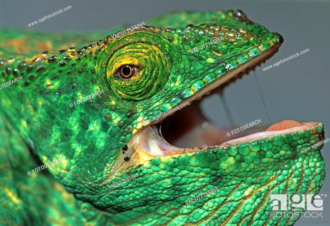 Stock Photo: chameleon, Madagascar, reptile, rainforest, threatens, more open, mouth.