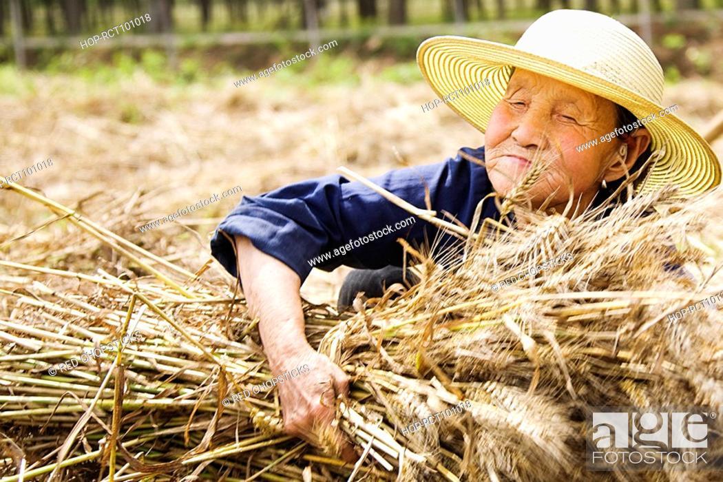 Stock Photo: Farmer collecting bundles of wheat stalk, Zhigou, Shandong Province, China.