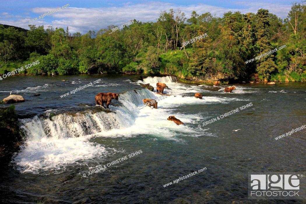 Photo de stock: Grizzly Bear (Ursus arctos horribilis), group in the water foraging, hunting, Brooks River, Katmai National Park and Preserve, Alaska, United States.