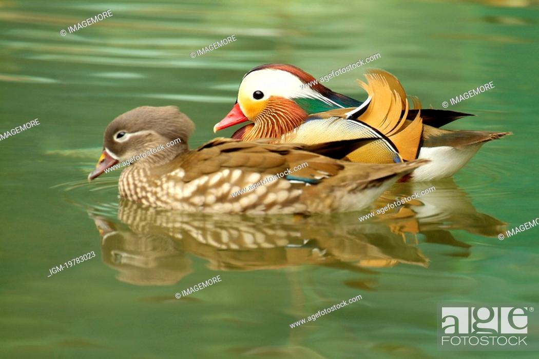 Female And Male Mandarin Ducks Swimming Together Side View Stock
