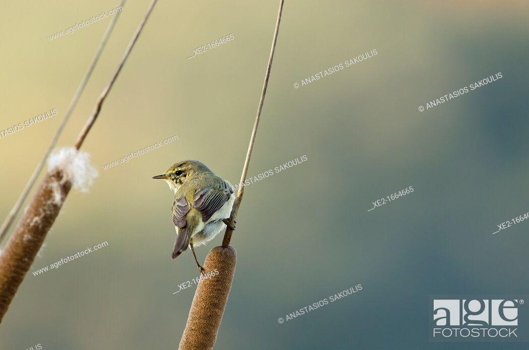 Stock Photo: Chiffchaff - Phylloscopus collybita, Greece.