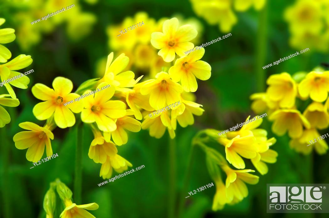 Stock Photo: Alpine Oxslip  Primula elatior  - Bernese Alps Switzerland.