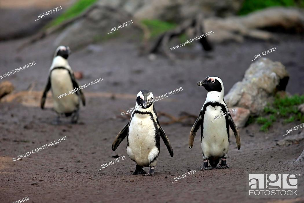 Stock Photo: Jackass Penguins or African Penguins (Spheniscus demersus), pair on the beach, Stony Point, Betty's Bay, Western Cape, South Africa.