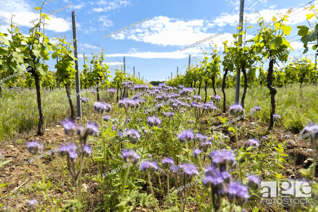 Stock Photo: floral spacing in organic vineyard, Moravia, Czech Republic.