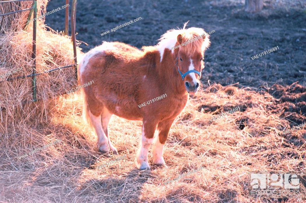 Stock Photo: Pony Near Hay.