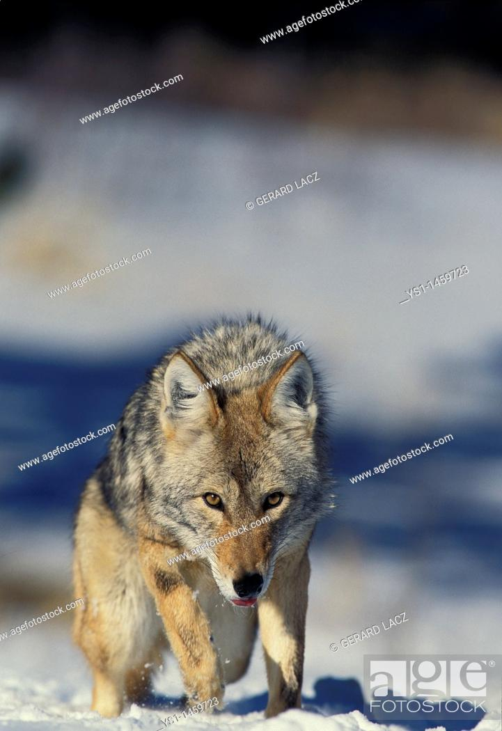 Stock Photo: COYOTE canis latrans, ADULT STANDING ON SNOW, MONTANA.