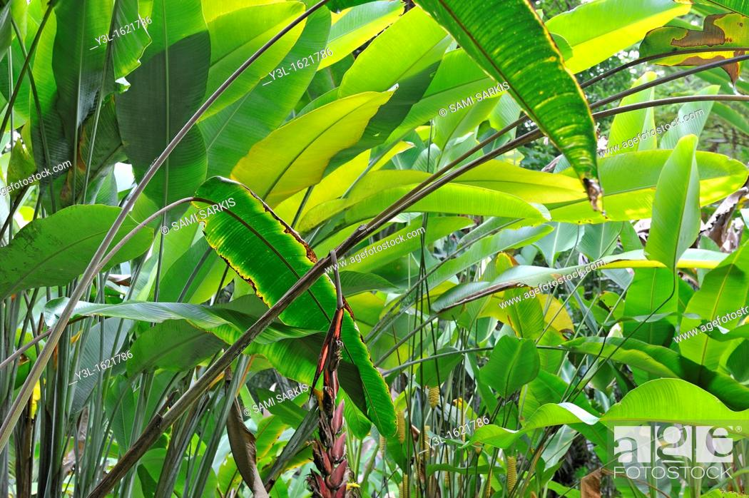 Stock Photo: Banana trees (Musa sp.) leaves, Big Island, Hawaii Islands, USA.