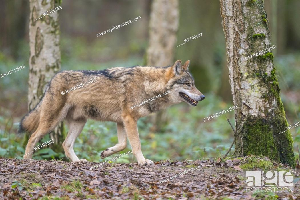 Imagen: Wolf, Canis lupus, in forest.