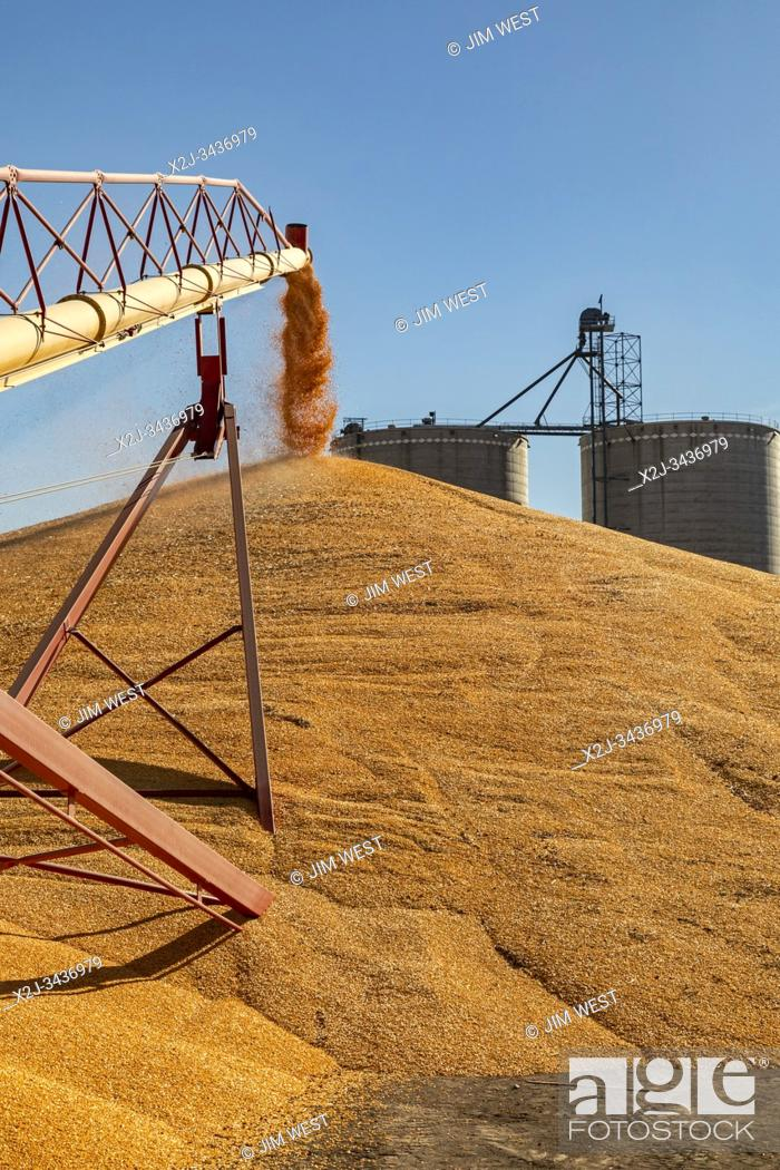 Stock Photo: Daykin, Nebraska - Corn is stored temporarily on the ground outside a grain elevator.
