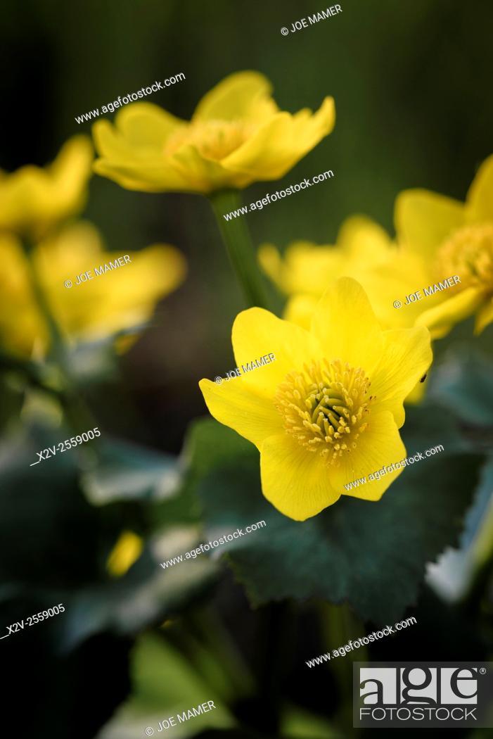 Photo de stock: Caltha palustris (Marsh Marigold) flower.