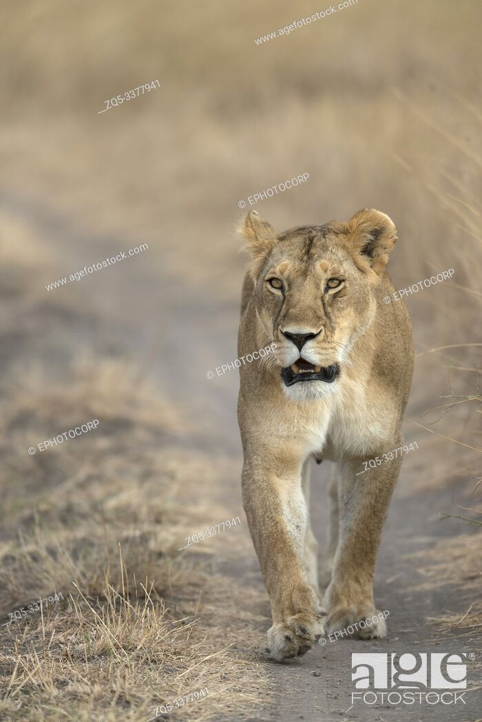 Stock Photo: Lioness walking on road at Masaimara in Africa.