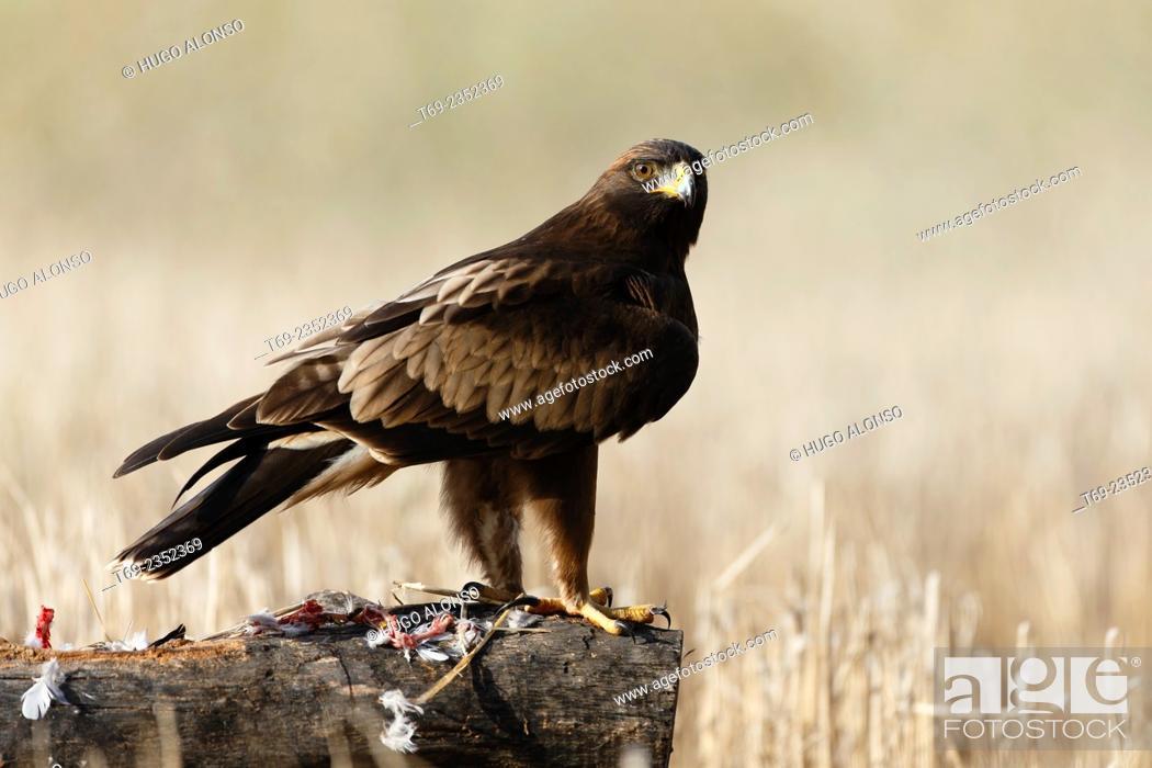 Stock Photo: Booted eagle. Hieraaetus pennatus.
