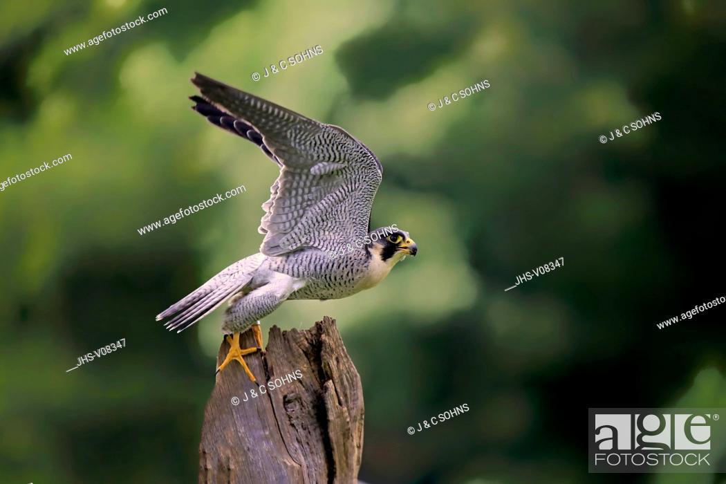 Stock Photo: Peregrine falcon, (Falco peregrinus), adult starts flying, Pelm, Eifel, Germany, Europe.