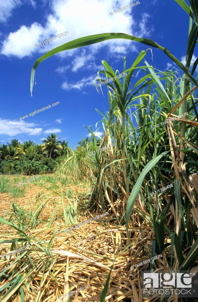 Stock Photo: Sugar cane field, Saint Paul area, La Reunion island, France, Indian Ocean.