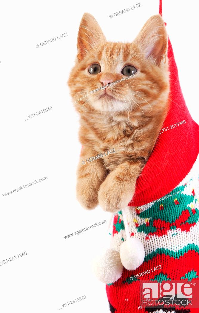 Stock Photo: Red Tabby Domestic Cat, Kitten standing in Christmas Sock.