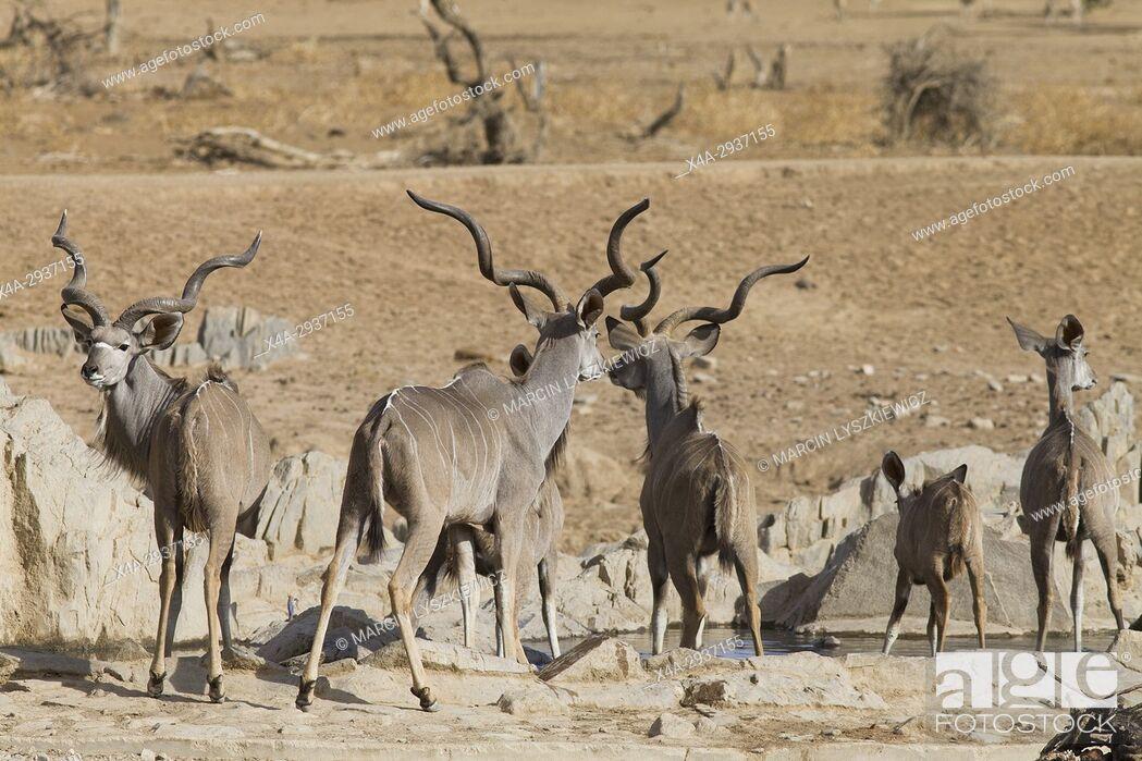 Stock Photo: Greater kudu's (Tragelaphus strepsiceros) herd at water hole near Hobatere lodge, Namibia.