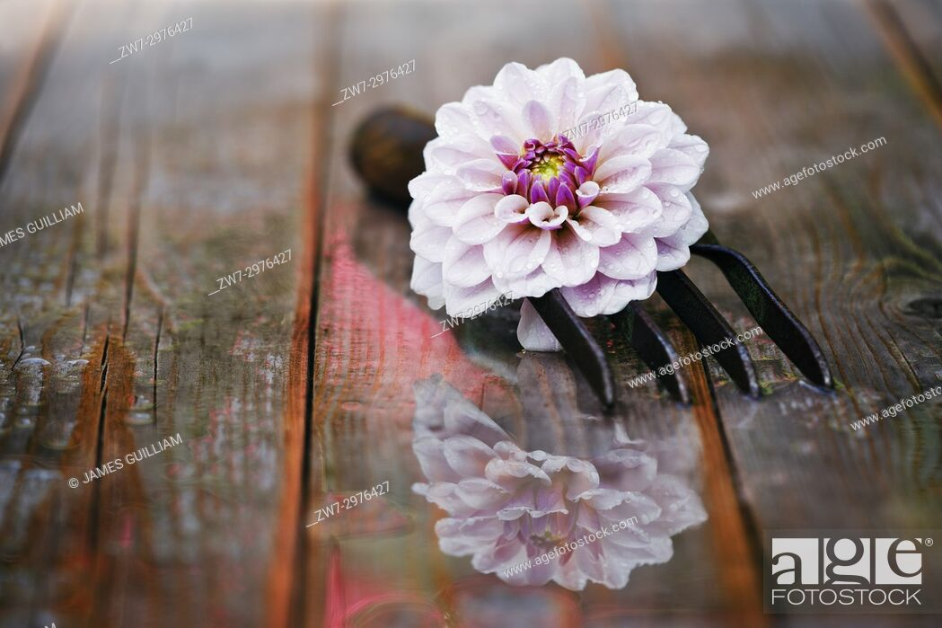Stock Photo: Dahlia flower with hand fork on wet wooden table.