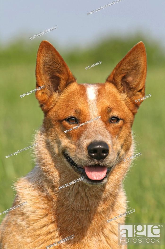 Stock Photo: Australian Cattle Dog Canis lupus f. familiaris, portrait.