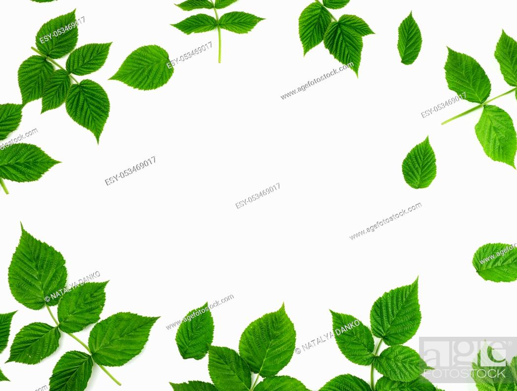 Stock Photo: fresh green leaves of raspberry on a white background, full frame, copy space.