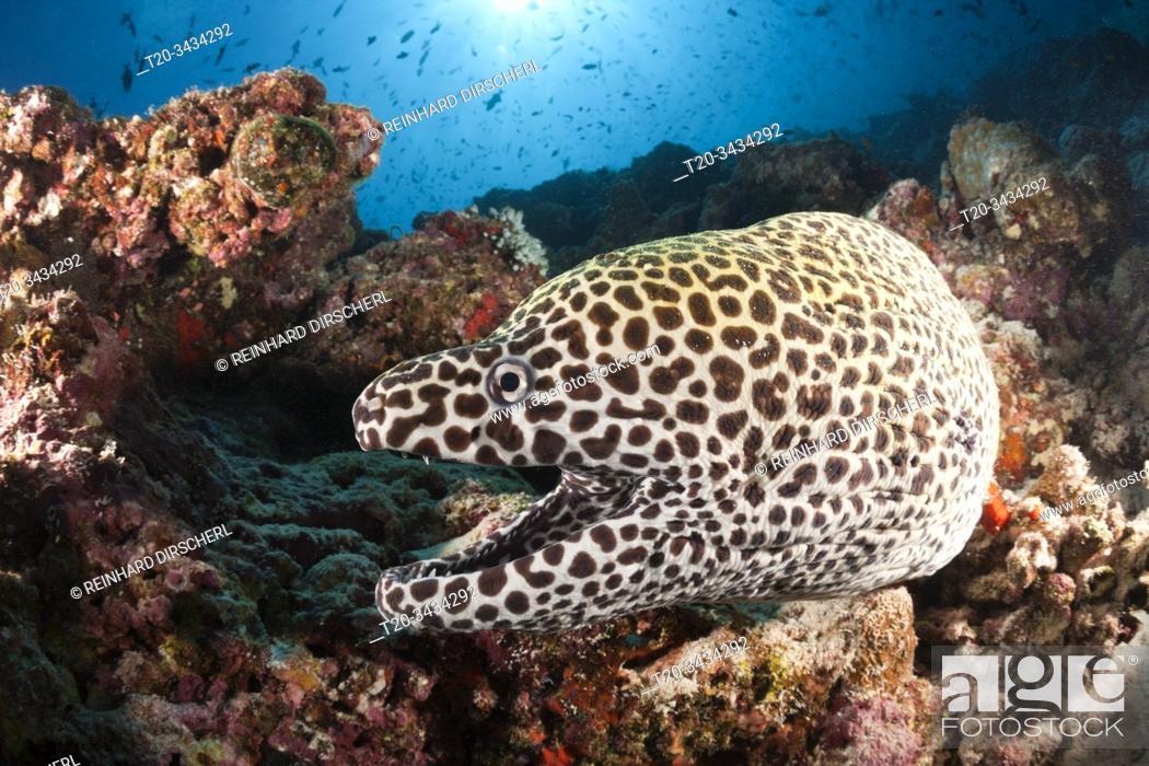 Imagen: Honeycomb Moray, Gymnothorax favagineus, North Male Atoll, Indian Ocean, Maldives.